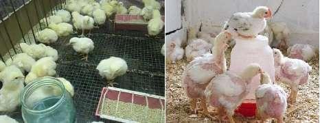 Выращивание бройлеров в домашних условиях: особенности содержания, ухода и кормления цыплят разного возраста
