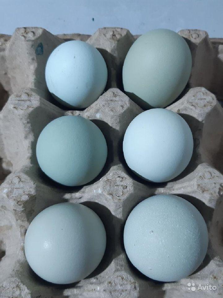 Порода кур синь синь дянь: описание, содержание, уход, морозостойкость, разведение, фото, отзывы