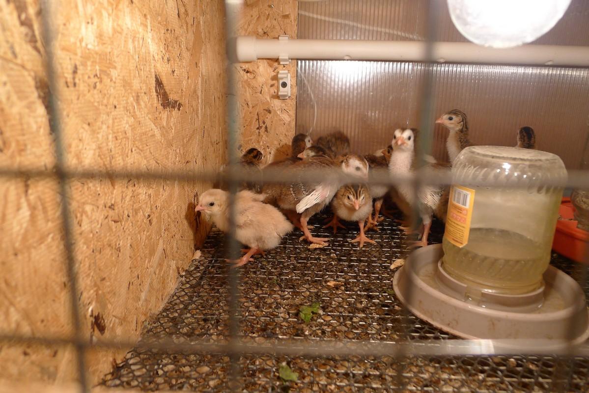 Не просто птица, а результат генетического отбора — цесарка бройлерная