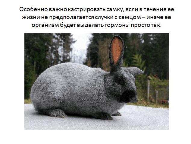 Сколько живет вислоухий кролик - декоративные кролики