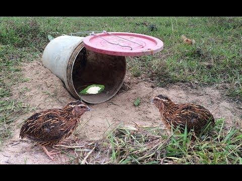 Как поймать фазана: основные правила, секреты и методы ловли