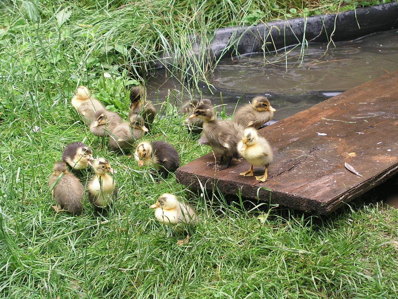 Домашняя утка: описание, содержание в домашних условиях