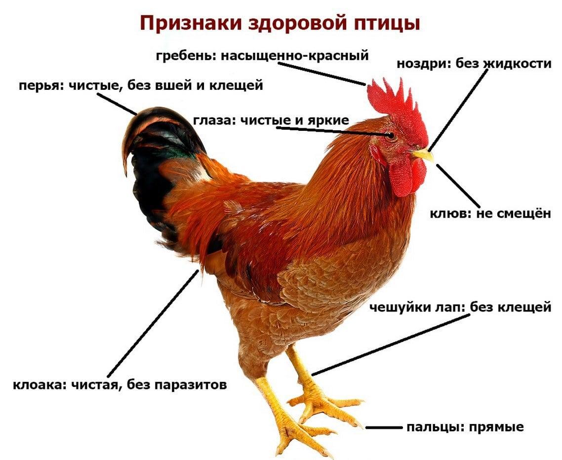 Как определить возраст курицы: можно ли отличить старую от молодой