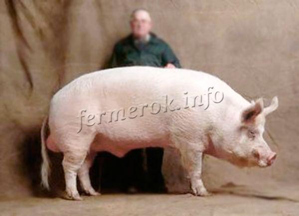 Черные свиньи: породы, правила ухода и кормления