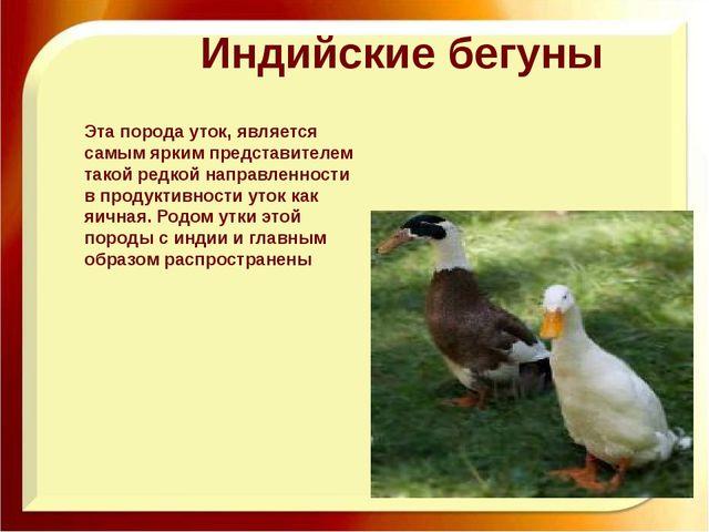 Благоварская утка – описание породы и особенности выращивания