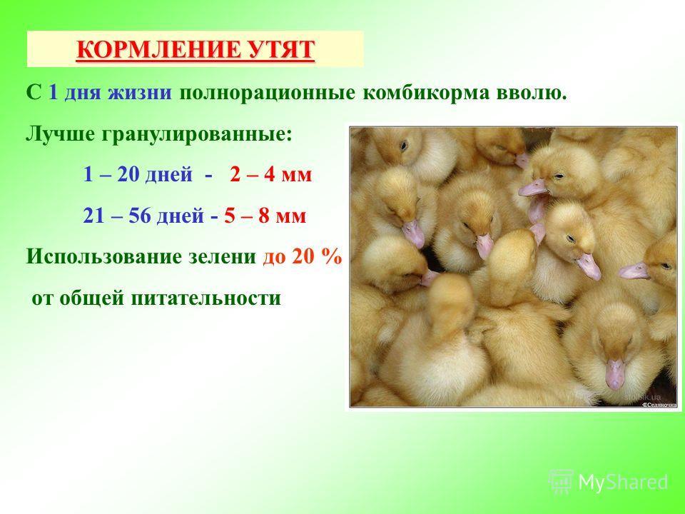Чем и как кормить гусят в первые дни жизни