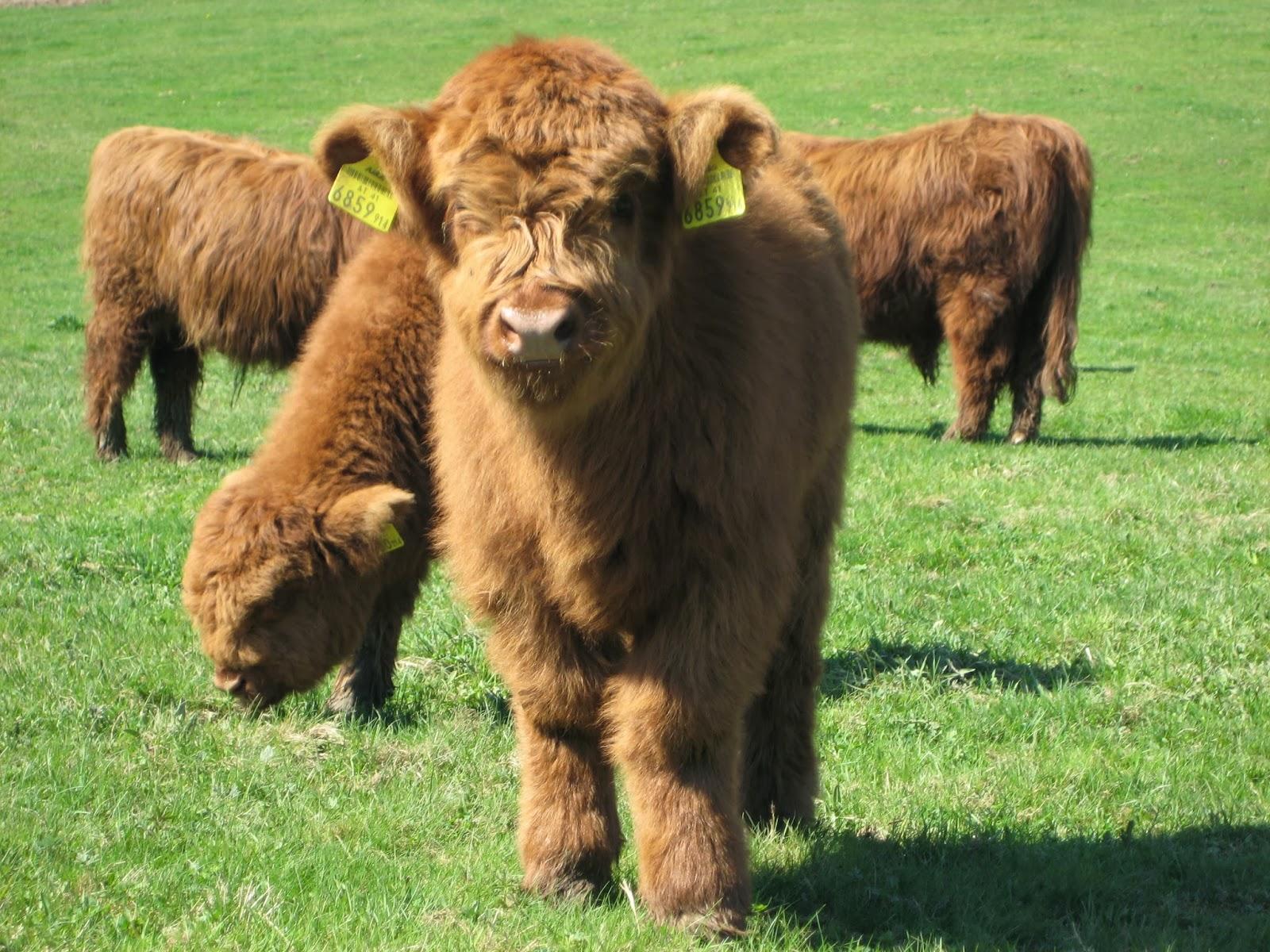 Мини-коровы: обзор пород, их происхождение и характеристики