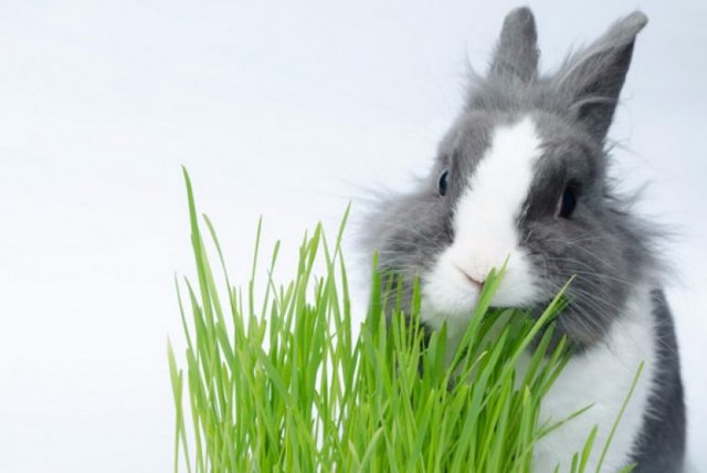 Горох в рационе кроликов: особенности кормления кролей зеленым горохом, гороховыми стручками и гороховой ботвой