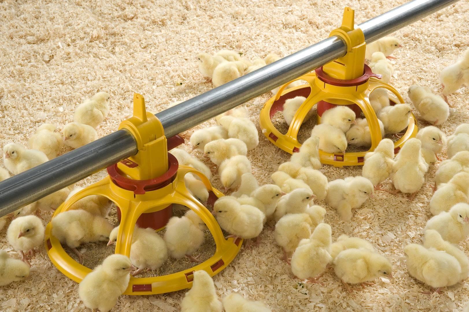 Кормление цыплят с первых дней — правила, инструкция по уходу