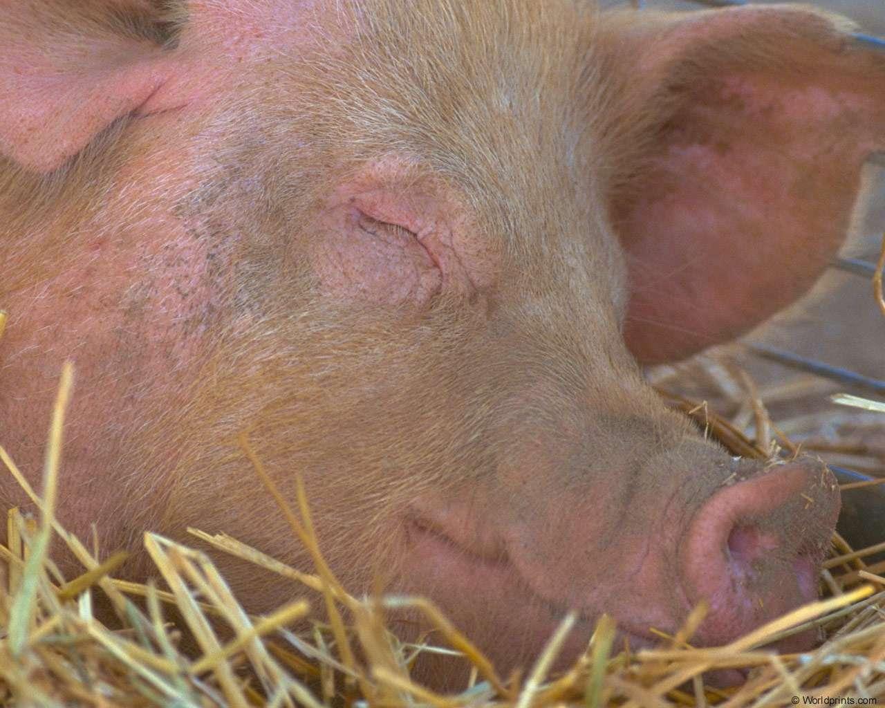 Если свинья заболела рожей можно есть мясо. рожа у свиней: симптомы, фото и лечение в домашних условиях