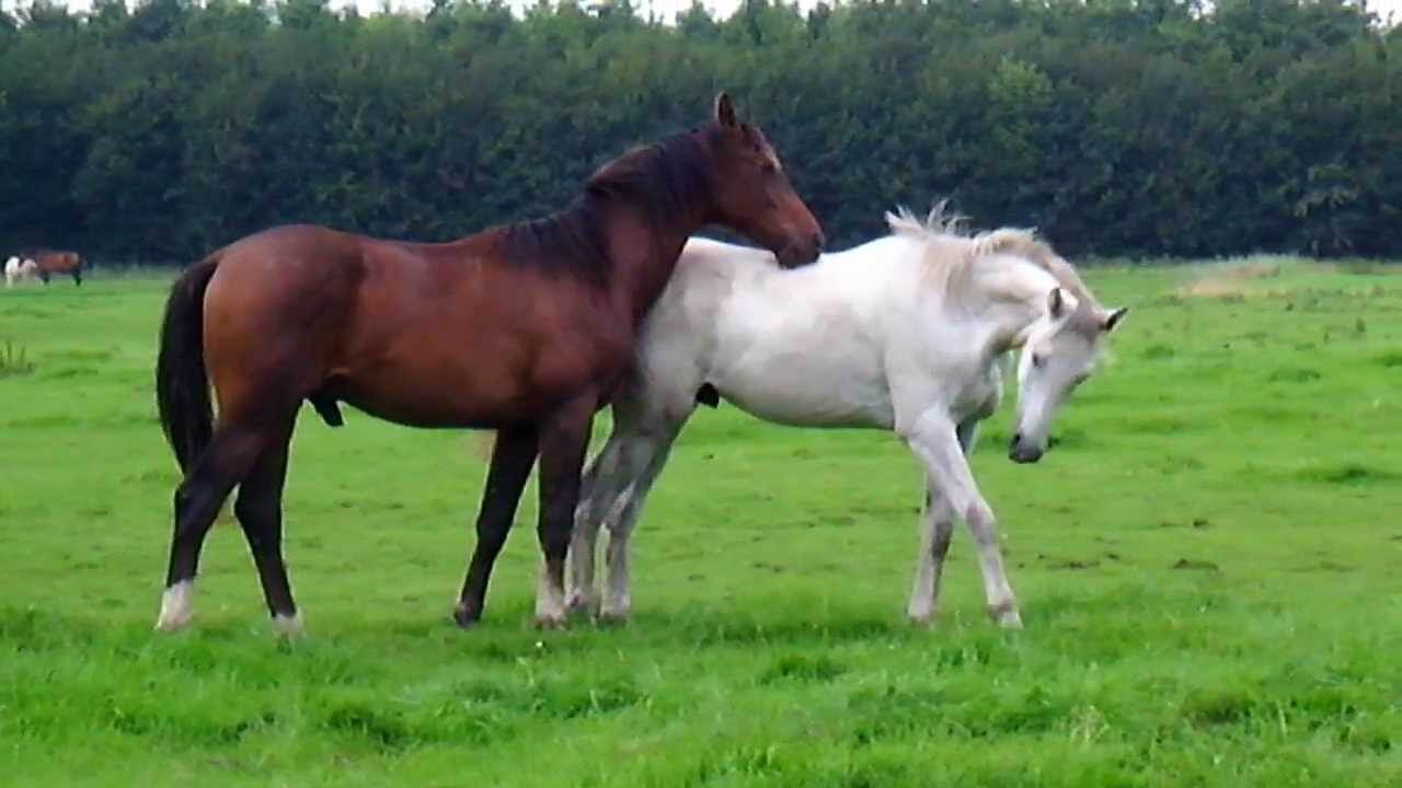 Спаривание лошадей: подготовка, отбор, методы спаривания и искусственное осеменение