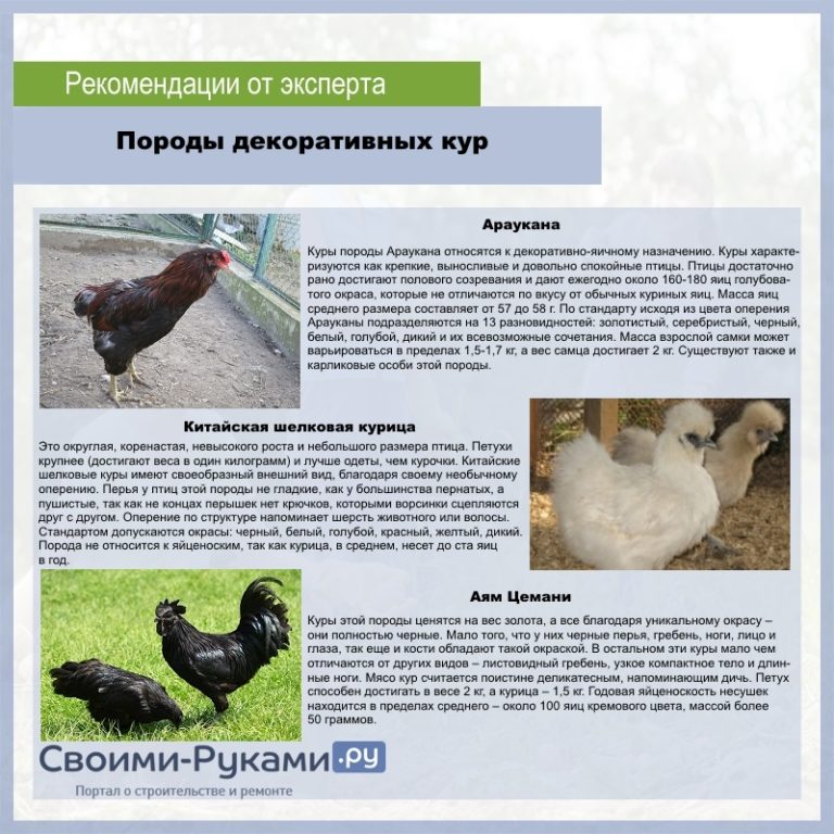Породы черных кур - описание с фото, характеристика, содержание и уход