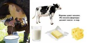 Когда корова дает молоко и что делать для повышения удоев