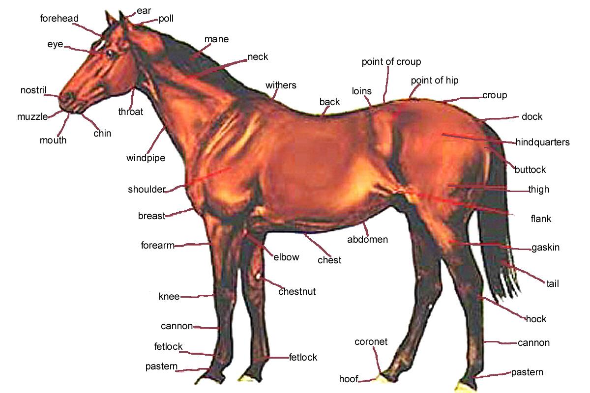 ✅ о строении лошади: круп, морда, суставы, шея, мозг, легкие, дыхательная система - tehnomir32.ru