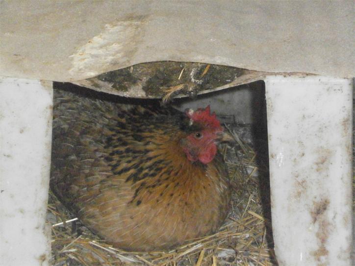 Что сделать чтобы курица не садилась на яйца - эффективные методы