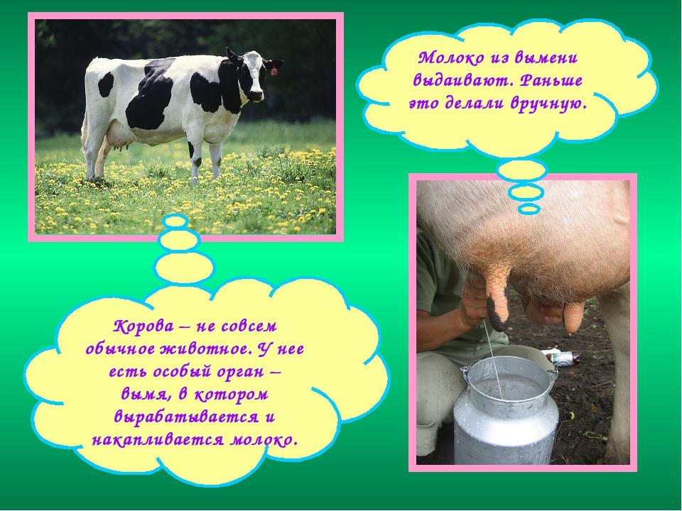 Когда корова дает молоко