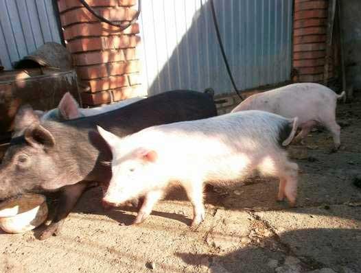 Глисты у свиней — симптомы и лечение, глистогонные препараты для поросят