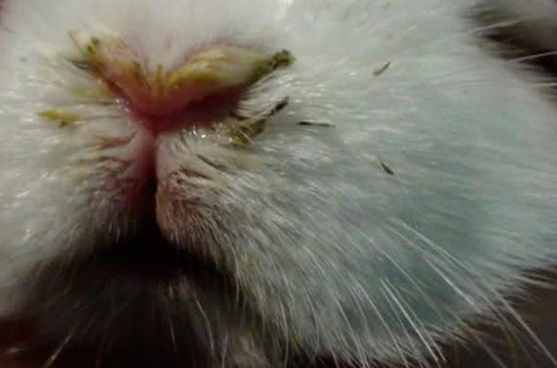 Инфекционный стоматит. | кролики. разведение и содержание в домашних условиях