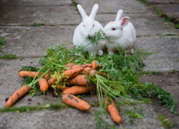 Можно ли кроликам дыню: в чём польза и вред, как давать