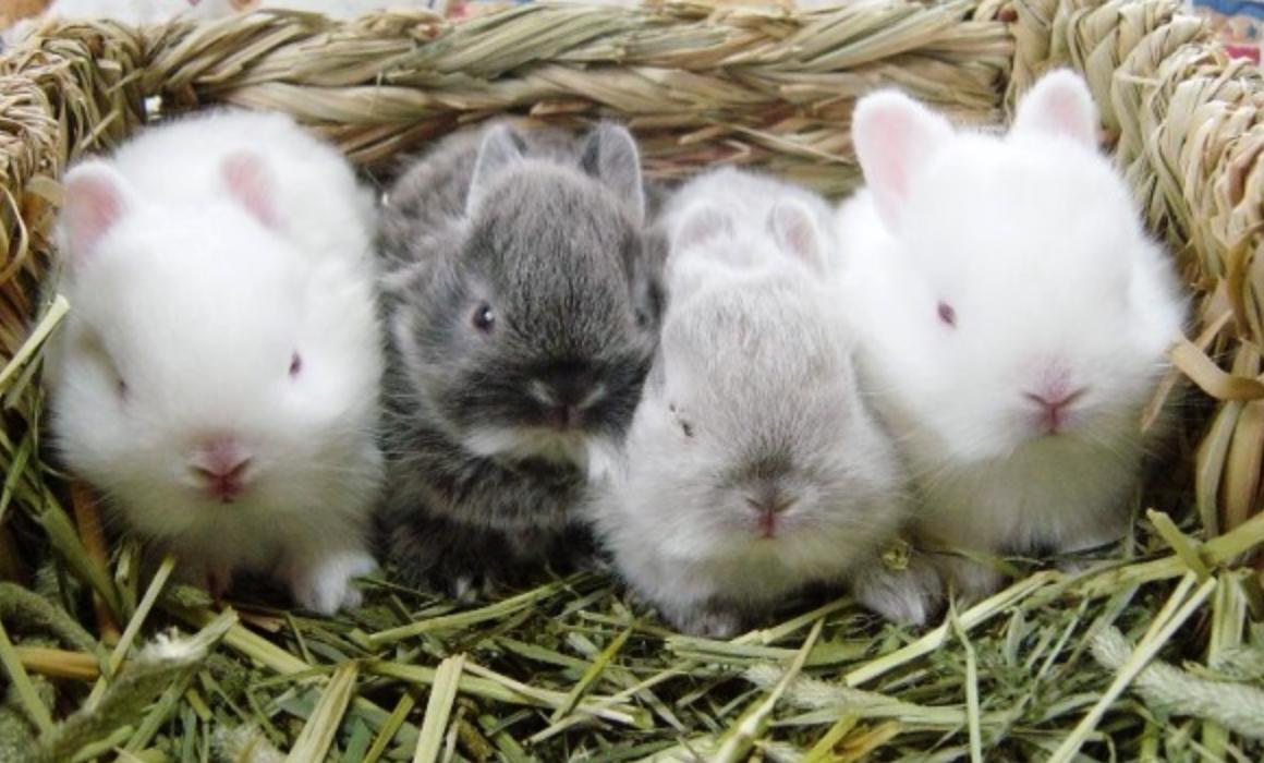 Все о новорожденных крольчатах: когда выходят из гнезда и как развиваются