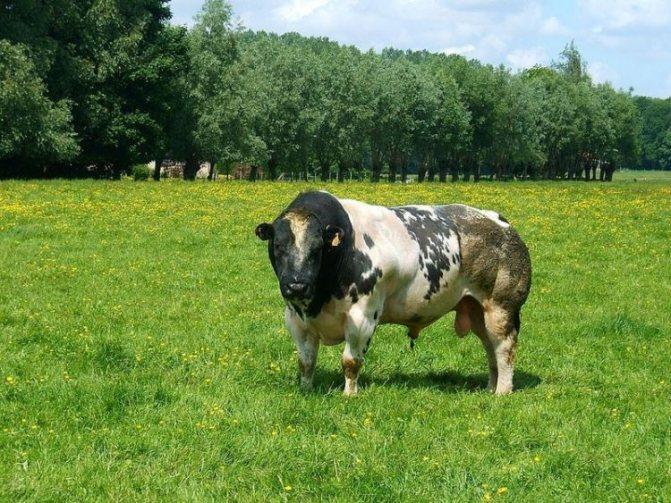 Высокопродуктивная бельгийская голубая корова, разведения.