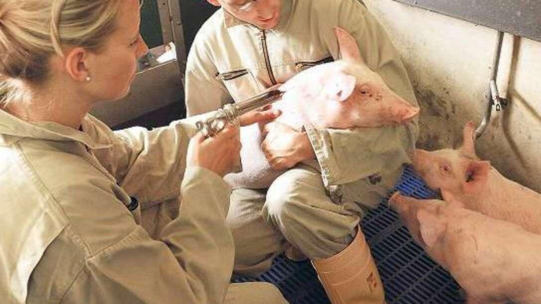 О классической чуме свиней: вакцина кс культуральная сухая, какие признаки