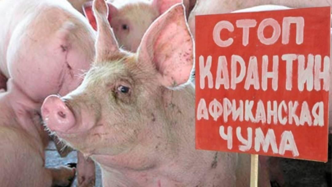Африканская чума свиней и её опасность для людей