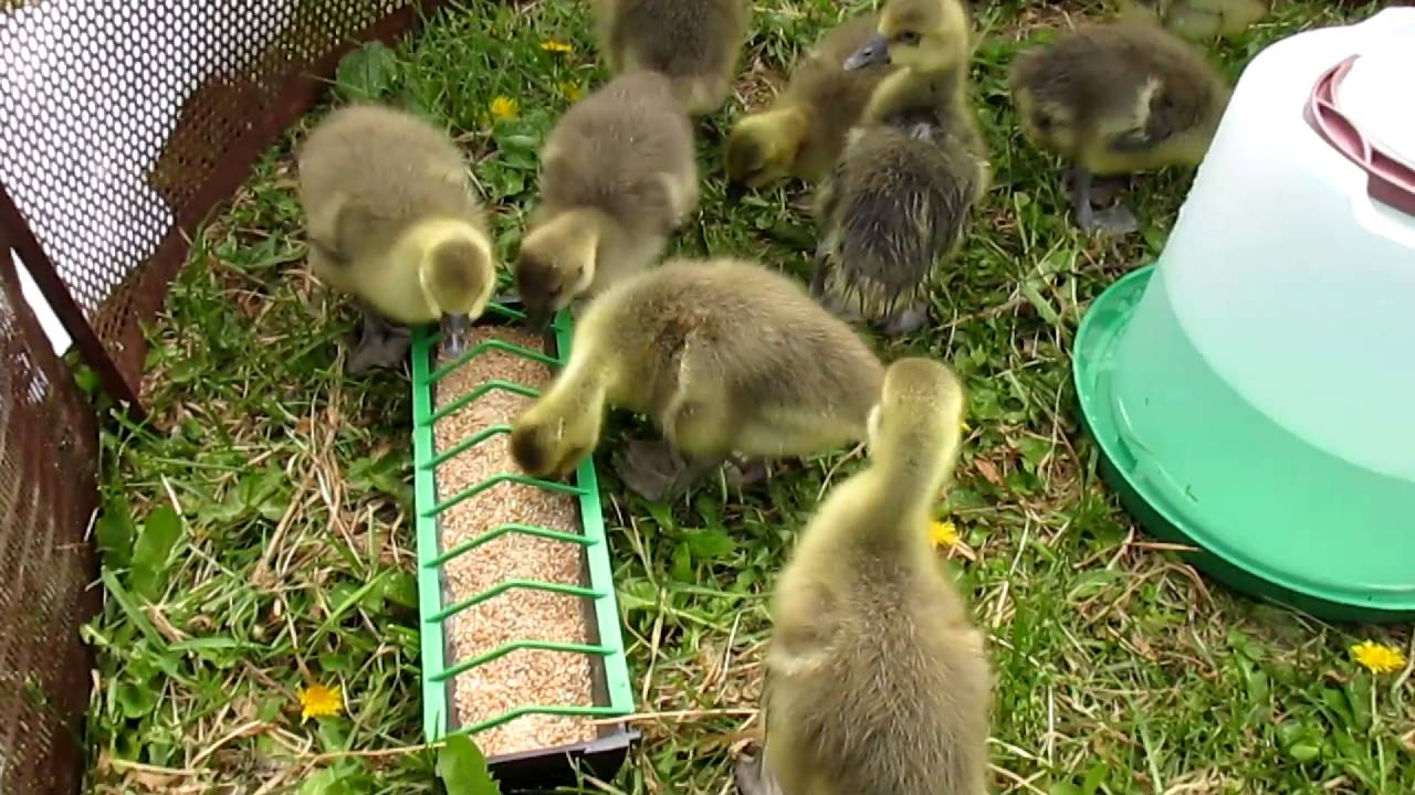 Как правильно разводить гусей: нюансы разведения и выращивания в домашних условиях, правила содержания и ухода