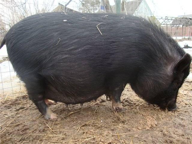 ✅ сколько длится беременность у свиньи, сколько поросят вынашивает - tehnoyug.com