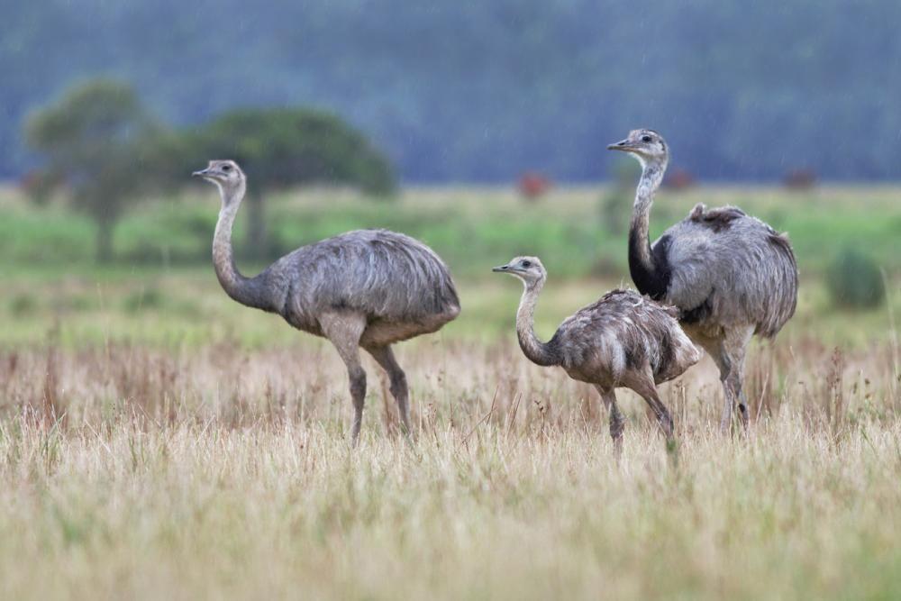 Африканский страус — описание и характеристика, подвиды птицы и где она обитает