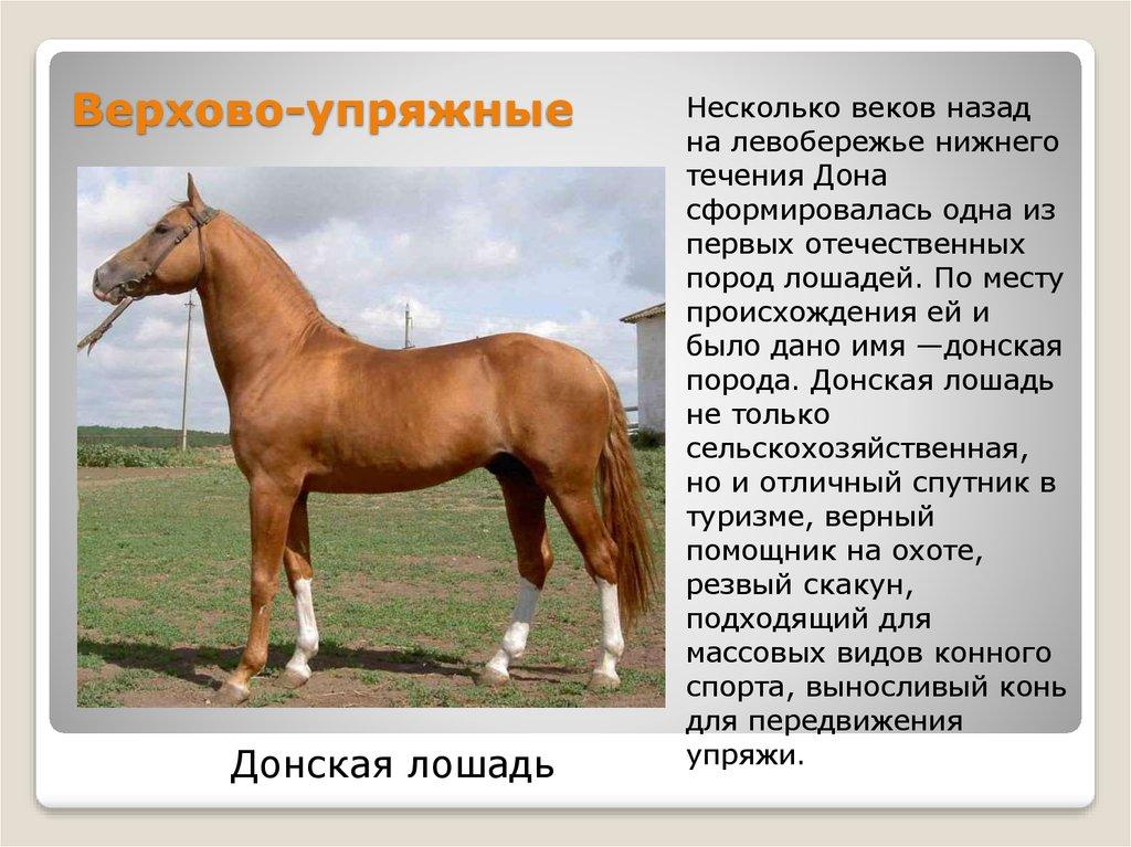 Липицианские лошади - описание экстерьера, качества породы
