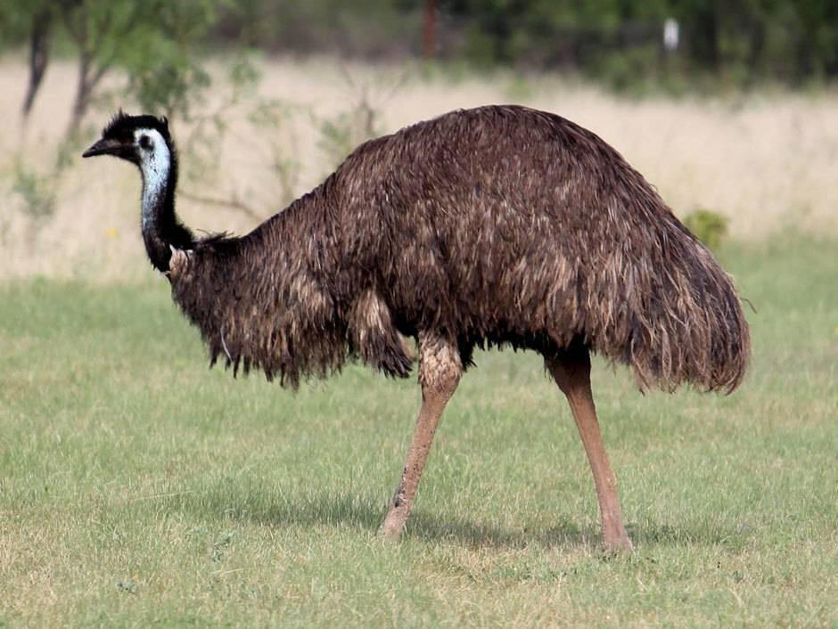 Характеристика австралийского страуса эму и среды его обитания