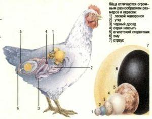 Сколько нужно куриц на одного петуха в курятнике для хорошего оплодотворения