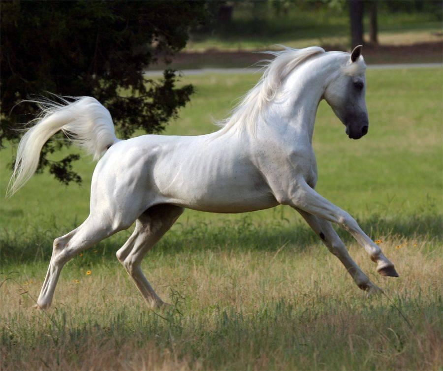 Арабская лошадь - описание породы, уход за лошадью
