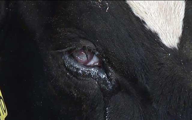 Слезятся глаза у теленка что делать