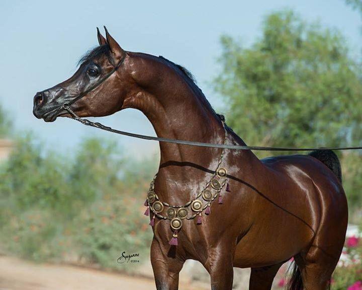 Арабская чистокровная порода лошадей: фото, описание коней, история происхождения
