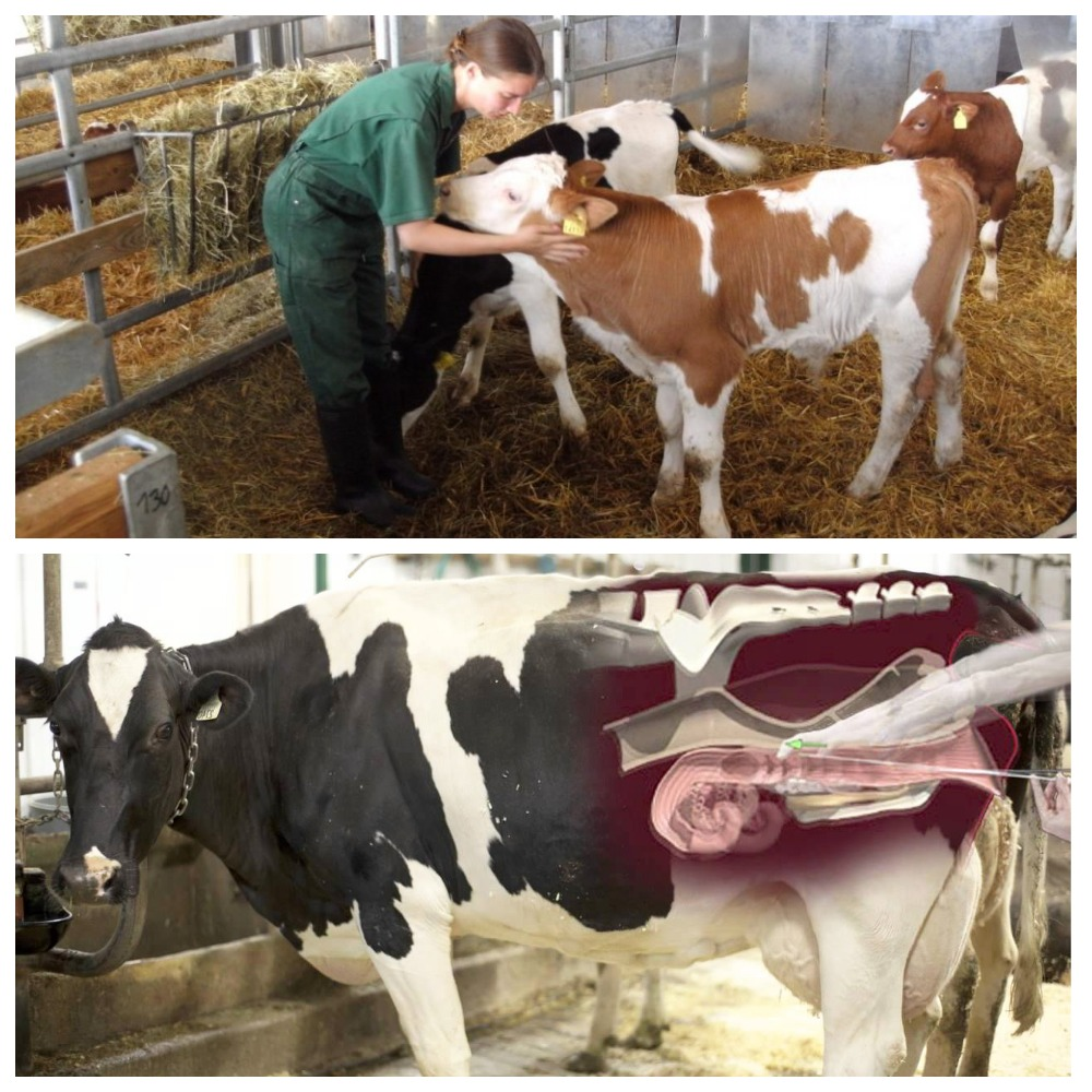 Как определить стельности коровы в домашних условиях: проверенные народные средства
