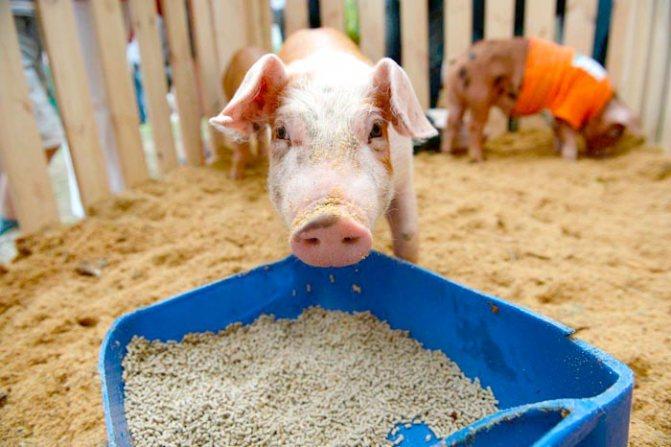 Комбикорм для свиней: виды и приготовление в домашних условиях