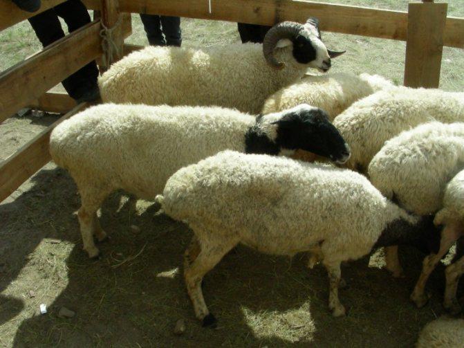 Эдильбаевская порода овец: характеристика и фото