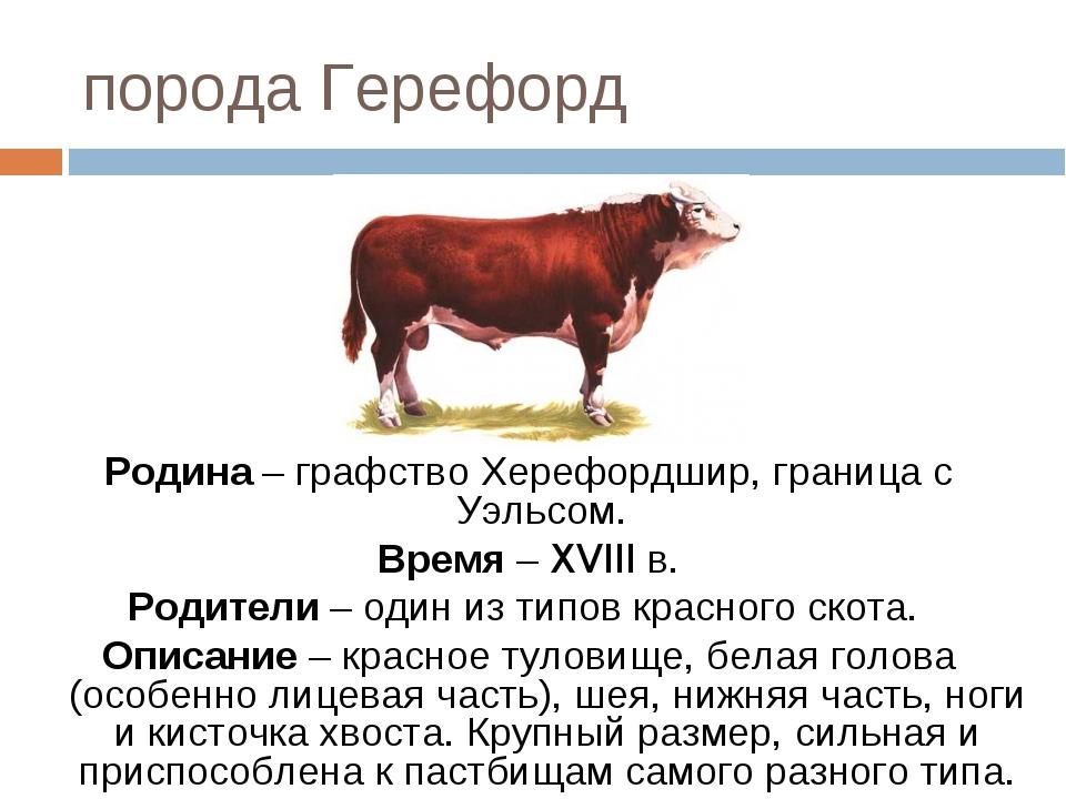 Герефордская порода коров — характеристика, особенности содержания, разведение