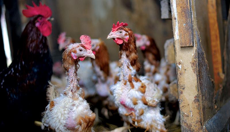 ✅ о линьке у куриц (почему куры линяют и когда будут нестись): что делать - tehnomir32.ru
