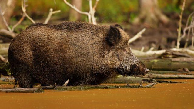 ✅ все о болезнях свиней: симптомы, вид животных, лечение, препараты и дозировки - tehnomir32.ru