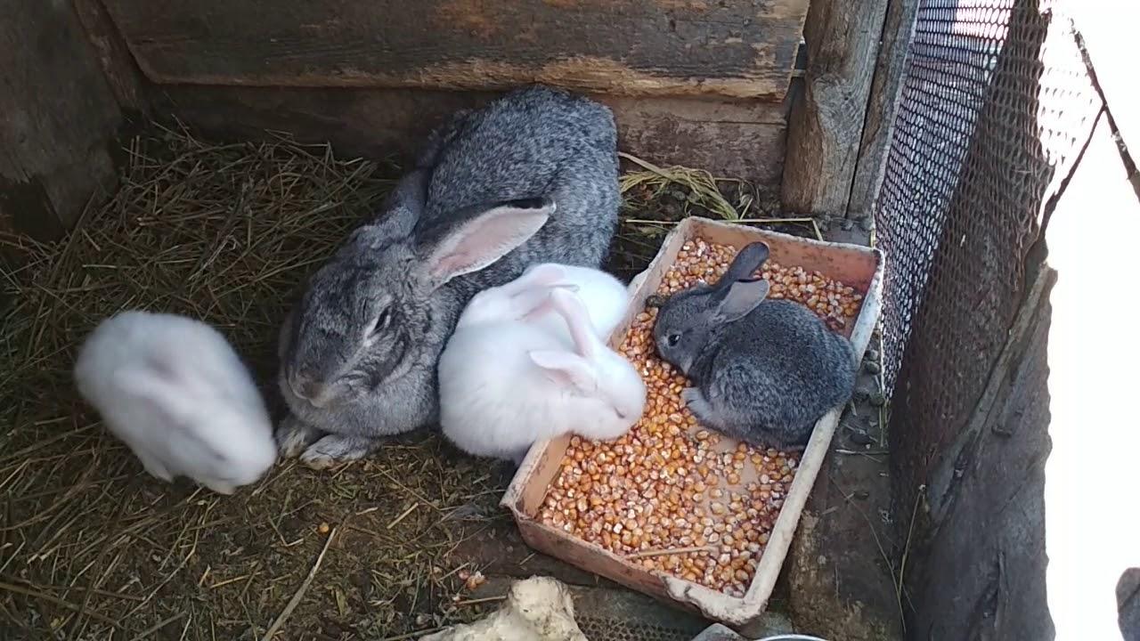 Кормление кроликов: случка и беременность — agroxxi
