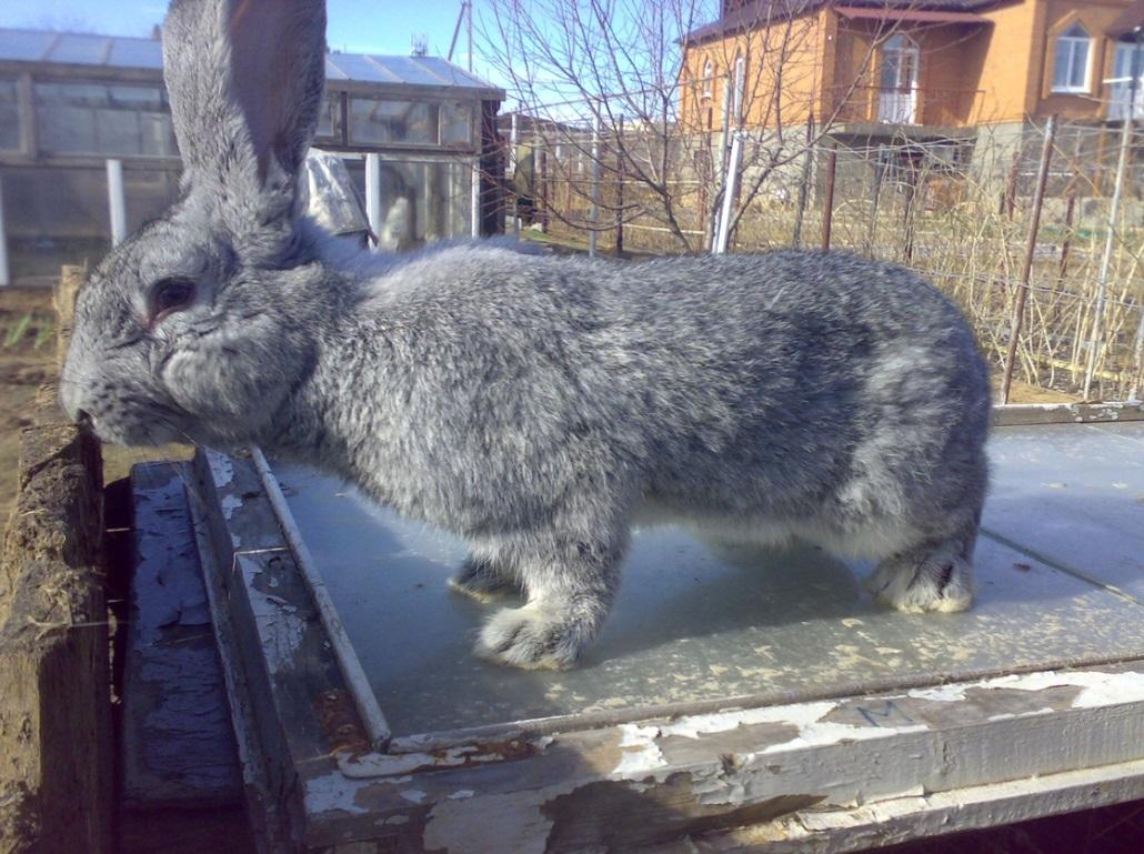 Кролики породы великан: описание и содержание