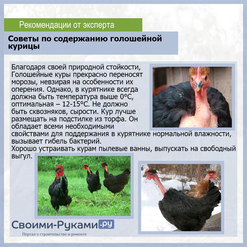 Необычная внешность и высокая продуктивность голошейной породы кур