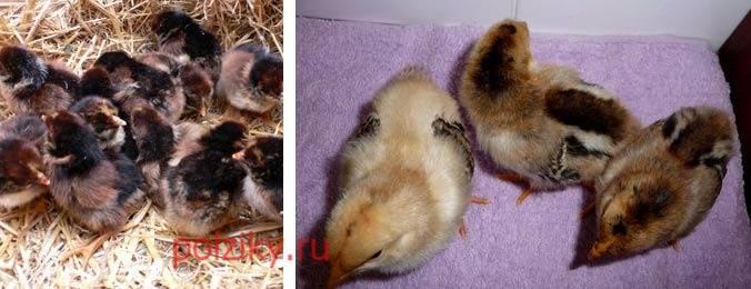 О породе кур барбезье: описание и характеристика, как отличить пол цыпленка
