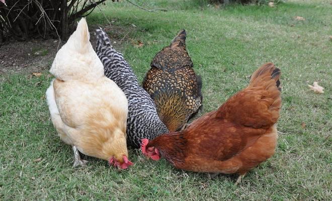 Андалузская голубая порода кур - разведение, продуктивность и обзор породы