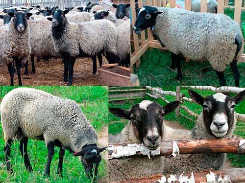 Овцы романовской породы: разведение, содержание и характеристика