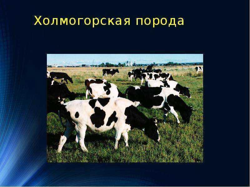 Холмогорская порода коров: характеристика с фото и видео