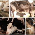 Особенности лептоспироза крупного рогатого скота и методы лечения